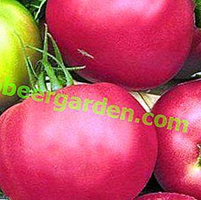"""Un ibrido unico dai Paesi Bassi - pomodoro """"Pink Unicum"""": descrizione della varietà e foto"""