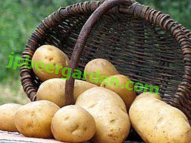 Une récolte précoce pour les jardiniers avertis - Pommes de terre Minerva: description et photo de la variété