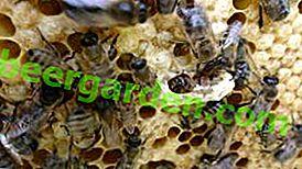 Famiglia delle api