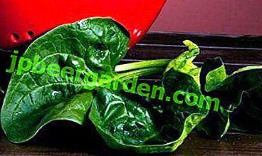 Як отримати урожай жірнолістного шпинату?  Опис культури і особливості вирощування