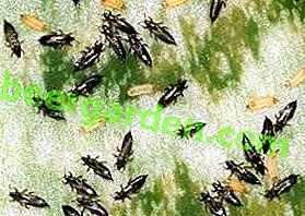 Petits ravageurs gloutons, tabac, oignon, blé et autres types de thrips