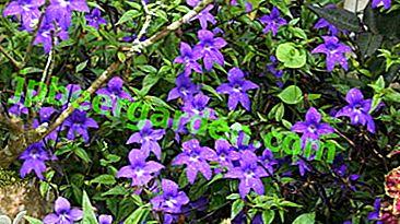 Що за кімнатна рослина Броваллія: Красива і інші сорти