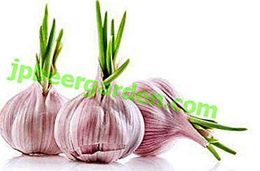 Да ли је могуће јести проклијали бели лук или посадити биљку у тлу?