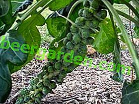 Какво е времето за прибиране на реколтата от брюкселско зеле преди съхранение през зимата?