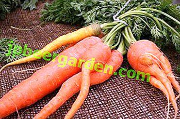 Причини проблем з морквою - чому падає бадилля на грядці, і вона виростає потворною.  методи боротьби