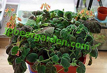 Характеристики на ковачницата: описание на цветята, видове, размножаване у дома и на открито