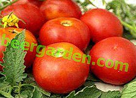 Сорт томата «Солярис»: опис та характеристика помідори з Придністров'я