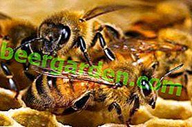 Achat et transport d'abeilles