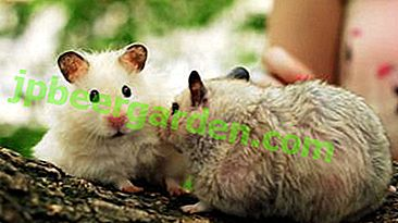 L'aneth est-il bon pour les hamsters et quelles races peut-on lui donner?