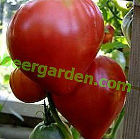 Les classiques roses dans votre serre - description de la variété de tomate Cardinal