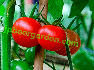 Ранній і смачний томат «Бетта»: опис сорту, вирощування, фото плодів-помідорів