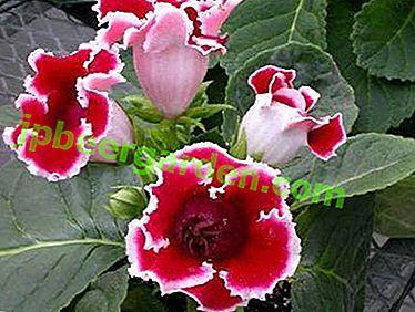 Gloxinia incroyable: une description des variétés Krasnoyarsk et Little Red Riding Hood, une photo de la fleur et les nuances de sa culture