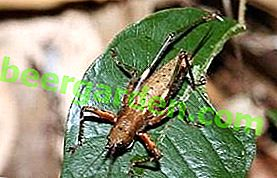 Шкідник з голосом: цикадка біла, співоча, японська та інші види