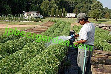 Procédures d'arrosage du basilic: comment l'arroser correctement en pleine terre et à la maison?
