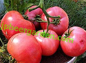 """Pyszny pomidor """"Raspberry Sunset F1"""" w połowie sezonu: opis odmiany i cechy uprawy"""