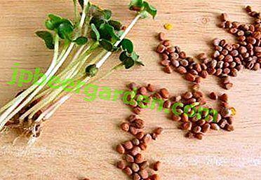 Der Schlüssel zu einer hervorragenden Ernte von Radieschen ist die Saatgutbehandlung vor dem Pflanzen.  Muss ich sie sortieren und einweichen?