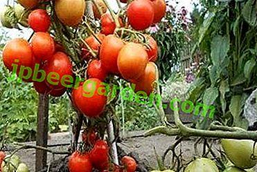 Опис і характеристика сорту томату «Кемеровец»: особливості догляду, достоїнства і недоліки