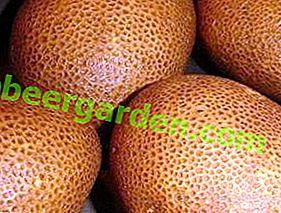 """Генетски модификована сорта кромпира """"Киви"""": карактеристике, опис сорте, фотографија"""