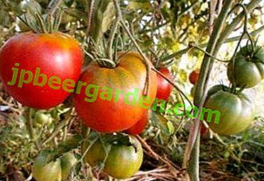 """Eine großartige Option für einen Anfänger Gärtner - eine Tomatensorte """"Cosmonaut Volkov"""""""