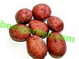 Pommes de terre Lyubava domestiques: maturation rapide, stockage à long terme