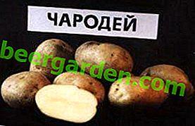 Inländischer mittel-später Kartoffel-Assistent: Merkmale der Sorte, Beschreibung und Foto