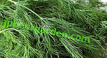 Leczenie chorób trzustki za pomocą ziół i nasion kopru