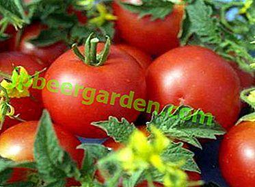 Tomates en pleine terre - Dubrava (Dubok): caractéristiques et description de la variété