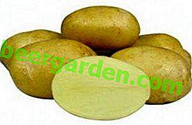 Hochwertige Samenqualität von Jelly Potato: Beschreibung, Eigenschaften und Fotos