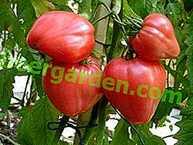 """Caracteristici de cultivare și caracteristici de soiuri de roșii cu fructe mari, cu fructe mari """"Miracolul Pământului"""""""