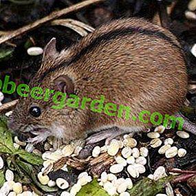 Ce mănâncă un câmp voleu în stepă, pădure, taiga și pajiște?  Șoarecele de câmp este omnivor?
