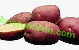 Variété de pomme de terre Labella: description d'une beauté hollandaise à haut rendement