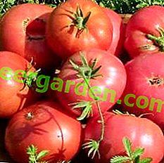 Une autre variété de tomate Pride of Siberia recommandée pour les serres et sa description détaillée