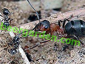Ameisenschutz für Wald, Garten und menschliche Gesundheit
