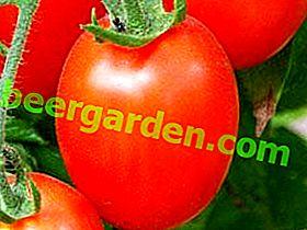 Універсальний сибіряк - сорт томата Буян (Боєць): опис, фото і основні характеристики