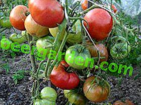 """Cespuglio compatto, alta produttività, presentazione eccellente: questi sono i tratti distintivi della varietà di pomodori """"Guance spesse"""""""