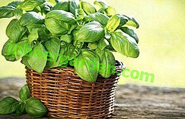 Листові овочі при вагітності, або Чи можна їсти базилік, яка його користь і шкода?  рецепти приготування