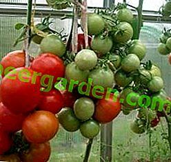 """Нов суперранов домат """"Снегър"""": характеристики и описание на сорта, снимка"""