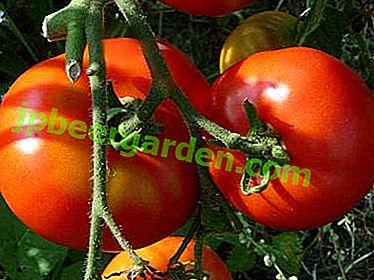 Labrador - délicieuses tomates au goût de maturation précoce