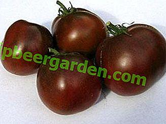 """Tomate éprouvée """"Black Prince"""": description de la variété, caractéristiques, culture, photo"""