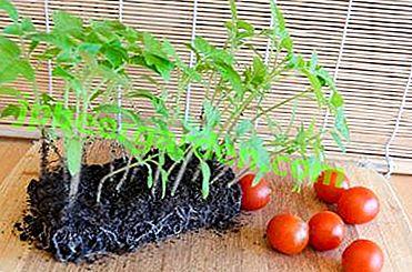 Questions sur la nutrition: quand et comment nourrir les plants de tomates?  Règles, tableau et explications
