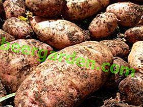 Смешно име, страхотен резултат - Лапот картоф: описание на сорта и снимка