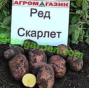 Dutch Scarlett potato: ressemble beaucoup, est stockée pendant longtemps