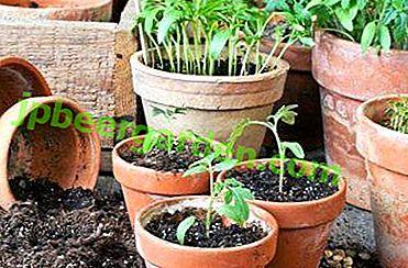 Dates à laquelle il convient de planter des tomates pour les semis en mars et de quoi dépend la procédure