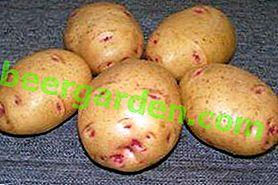 """L'une des variétés de pommes de terre les plus populaires: """"Picasso"""" - description, caractéristiques, photos"""