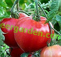 Чудовий сорт - томат «Ведмедик клишоногий»: опис, особливості вирощування