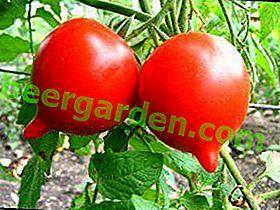 """Tomatensorte """"Tarasenko Yubileiny"""": Beschreibung und Empfehlungen für den Anbau einer geernteten Tomatensorte"""