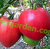 """Géant unique de variété de tomate résistante au froid """"Heavyweight of Siberia"""", sa description et ses caractéristiques"""