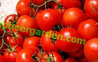 Neuer Hybrid der ersten Generation - Beschreibung der Tomatensorte Verlioka Plus f1