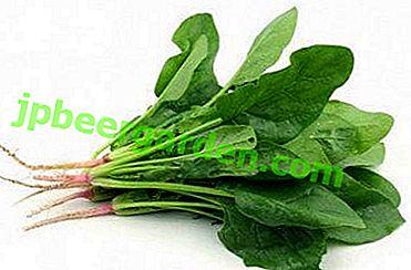 Pourquoi manger des épinards?  Les avantages et les inconvénients de cette plante pour la santé des hommes