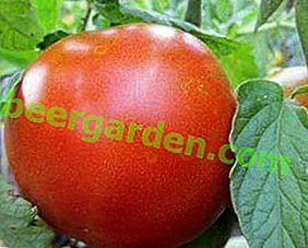 Невимогливий у догляді, універсальний по застосуванню і просто чудовий сорт томата «Товстий Джек»